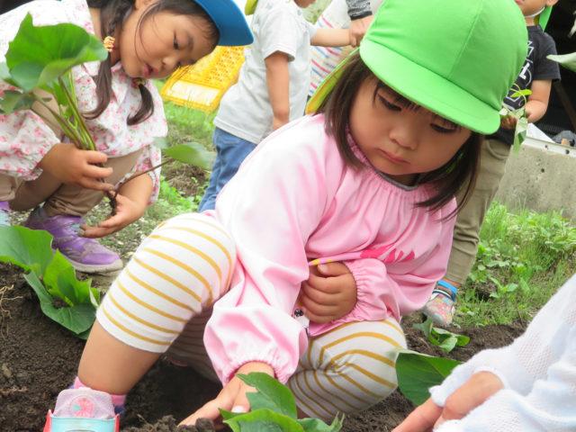 ひまわり農園でサツマイモの苗植えをしました。大きく沢山できるように「お~きくな~れ♪」